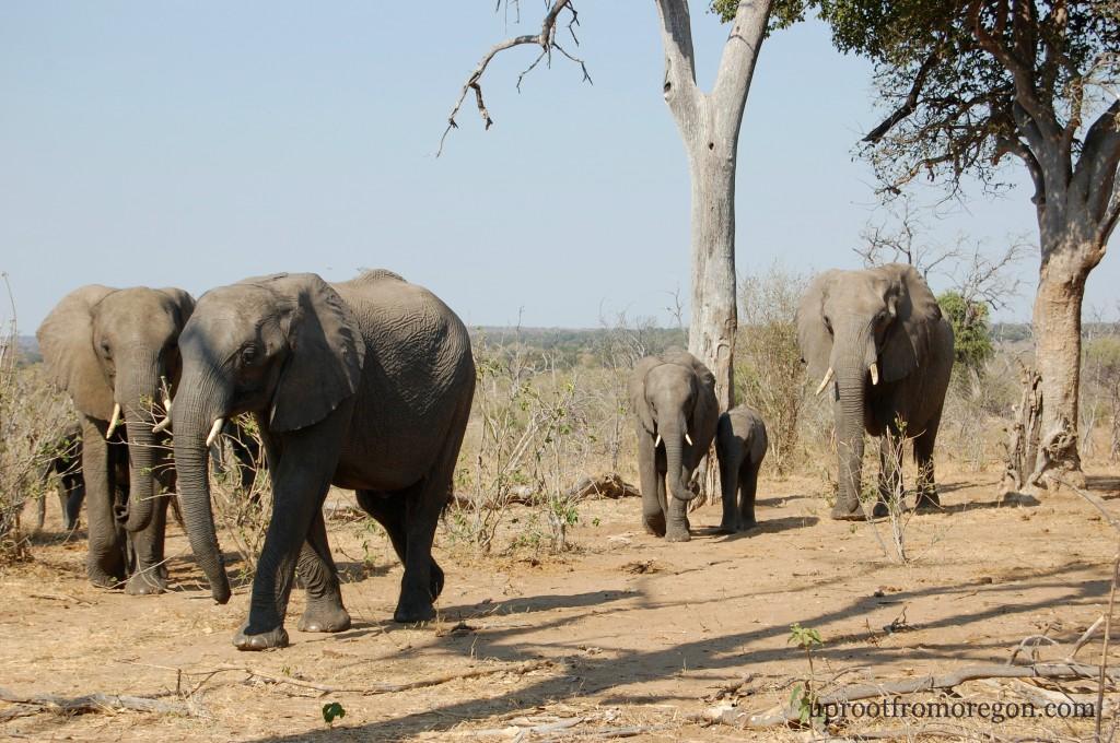 Elephants on Safari Gaborone Botswana