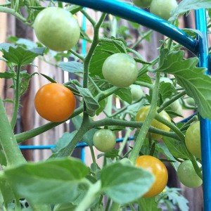 Tomato plant | uprootfromoregon.com