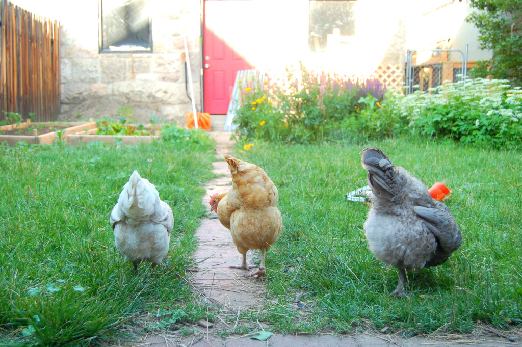 The 3 chickens in Uproot Garden