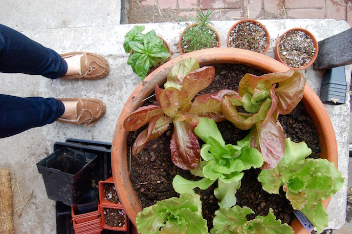 Growing lettuce in containers for urban gardening | uprootkitchen.com